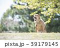 新緑背景のかわいい柴犬 あくび 39179145