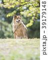新緑背景のかわいい柴犬 39179148