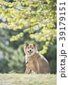 新緑背景のかわいい柴犬 39179151