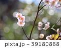 梅 花 初名草の写真 39180868