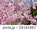 桜 さくら サクラの写真 39183867