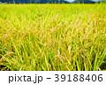 秋の稲 (9月) 39188406