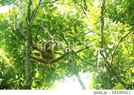 野生の子供オランウータン マレーシア 39190021