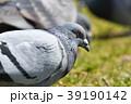 ハト ドバト 鳥の写真 39190142