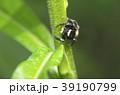 マミジロハエトリ 39190799