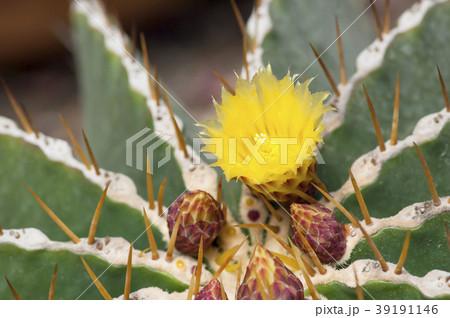 サボテンの花 39191146