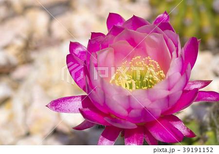 サボテンの花 39191152