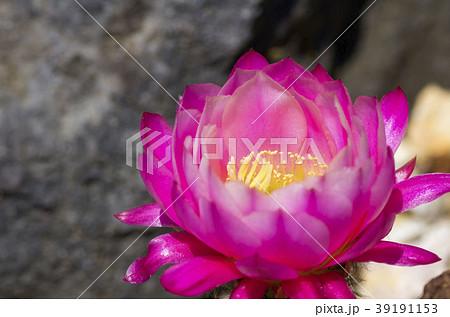 サボテンの花 39191153