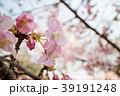 桜 さくら サクラ 39191248