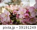 桜 さくら サクラ 39191249