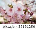 桜 さくら サクラ 39191250