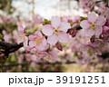 桜 さくら サクラ 39191251