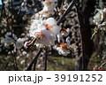 桜 さくら サクラ 39191252