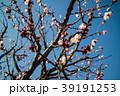桜 さくら サクラ 39191253
