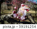 桜 さくら サクラ 39191254