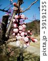 桜 さくら サクラ 39191255