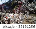 桜 さくら サクラ 39191256