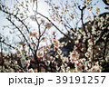 桜 さくら サクラ 39191257