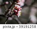 桜 さくら サクラ 39191258