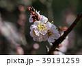 桜 さくら サクラ 39191259