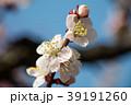 桜 さくら サクラ 39191260