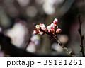 桜 さくら サクラ 39191261