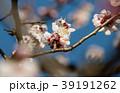 桜 さくら サクラ 39191262