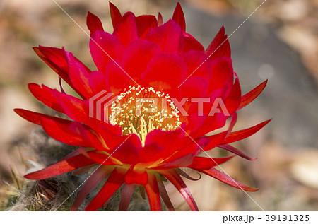 サボテンの花 39191325