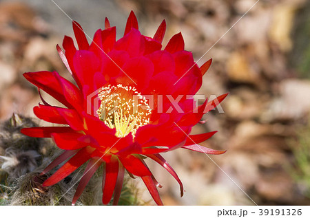 サボテンの花 39191326