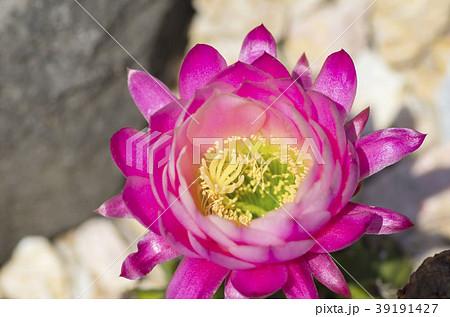 サボテンの花 39191427