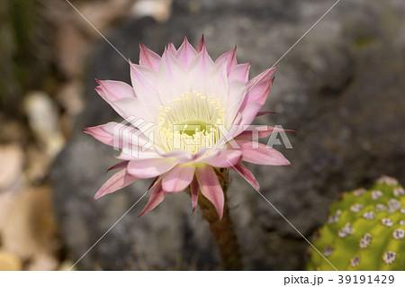 サボテンの花 39191429