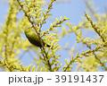 メジロ 小鳥 鳥の写真 39191437
