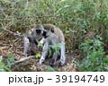 サバンナモンキー 猿 動物の写真 39194749