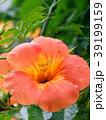 ノウゼンカズラ 花 植物の写真 39199159
