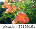 ノウゼンカズラ 花 蕾の写真 39199161