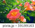 ノウゼンカズラ 花 蕾の写真 39199163
