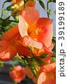 ノウゼンカズラ 花 蕾の写真 39199189