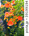ノウゼンカズラ 花 蕾の写真 39199194