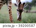 セレンゲティ国立公園 39200587