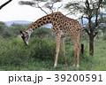 セレンゲティ国立公園 39200591