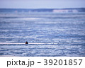 夕暮れの海面から顔を出すアザラシ(北海道) 39201857