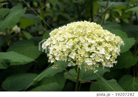 咲き進むアナベル(黄緑~白~また緑へ) 39207282