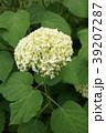 咲き進むアナベル(黄緑~白~また緑へ) 39207287