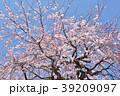 桜 枝垂れ桜 糸桜の写真 39209097