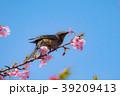 河津桜 桜 花の写真 39209413