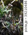 薇 山菜 シダ植物の写真 39210486
