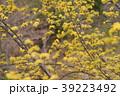 花 サンシュユ 春の写真 39223492