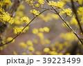 花 サンシュユ 春の写真 39223499