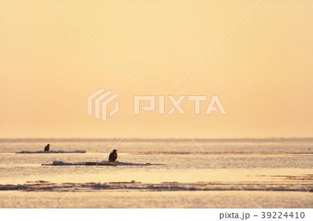 海に浮かぶ氷に佇むオオワシ(北海道) 39224410