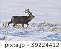 変形したツノのエゾシカ(北海道) 39224412